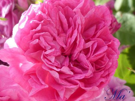 rose_110515_2
