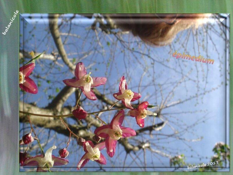 balanicole_2017_06_le printemps des vivaces 02_19_épimedium4