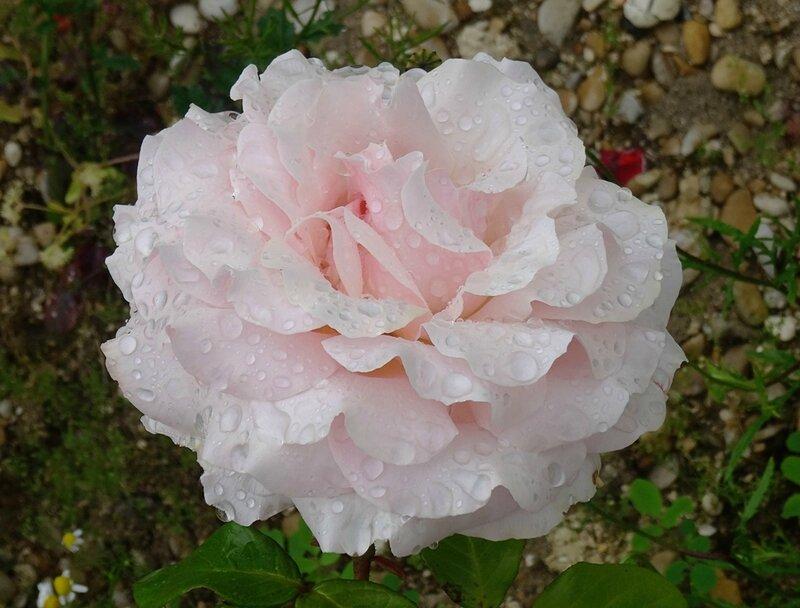 rosier rose clair de willemse bien epanoui