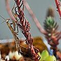 Mante religieuse • Mantis religiosa • Famille des Mantidae