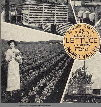 pajaro-lettuce