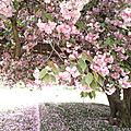Cerisier du japon2 - jardin des plantes - marimerveille