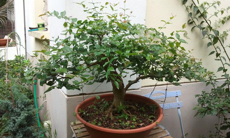 grand cerisier taille avant l hiver mes bonsa s la. Black Bedroom Furniture Sets. Home Design Ideas