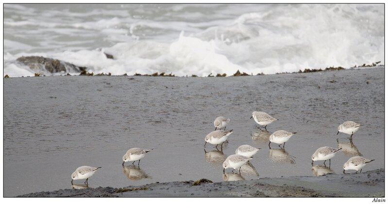 bande de bécasseaux à la plage