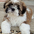 8_CHIOT_CHIEN, SHIH TZU_A_VENDRE_A_ADOPTER_PARTICULIER__ELEVAGE_ELEVEUR_11_34_30,aude_narbonne_ HERAULT_GARD_MONTPELLIER_ NIMESLUNEL_NEWS_PRESS_CARD_2020_
