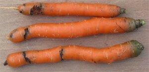 carotte-mouche-degats
