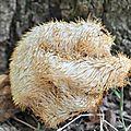 Hericium erinaceus (1)