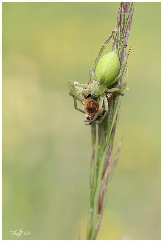 Micrommata_virescens15_01