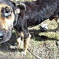 chien dans un champ de canne, l'oeil rongé par les tiques sénéaglaises