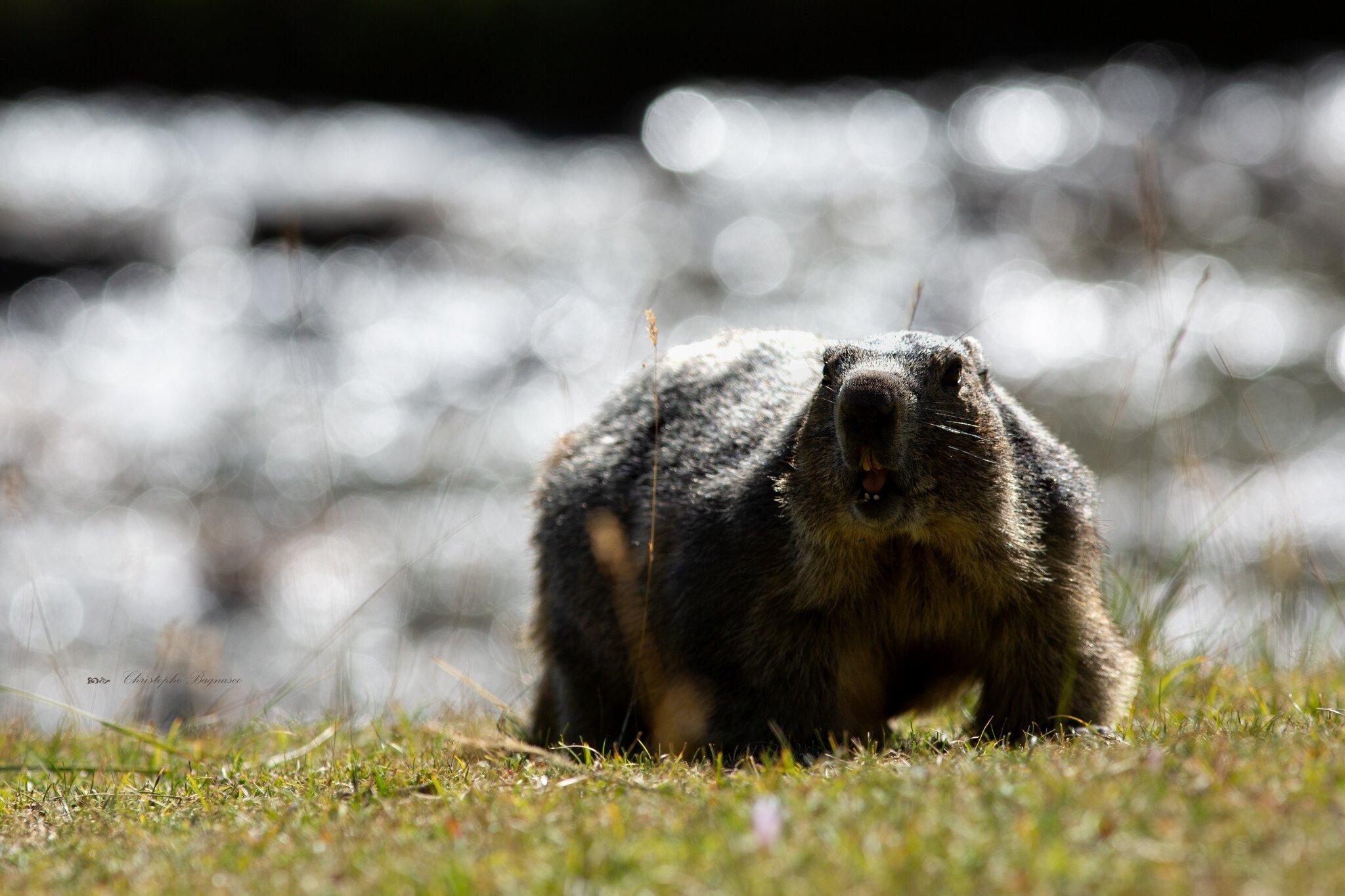 Du bokeh pour les Marmottes