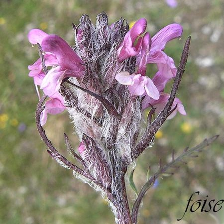 pedicularis_rosea_subsp