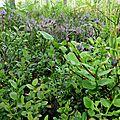Puumala, cueillette des myrtilles sauvages