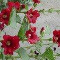 Roses trémières rouges