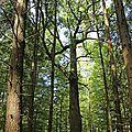 Le chêne du