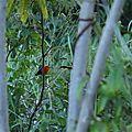 Pipra aureola - Manakin auréole mâle