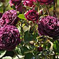 rosa purple eden