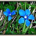 Gentiane bleue Combe de Léchaud (Ain)