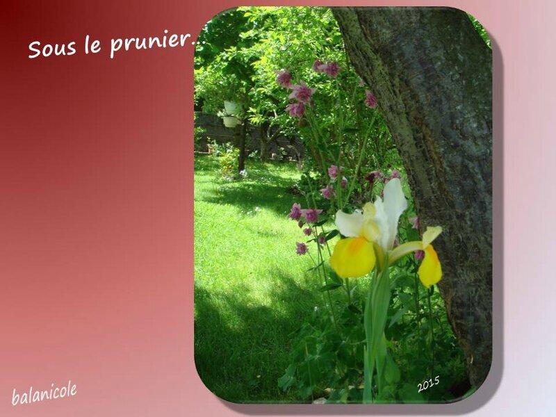 balanicole_2015_mai2_40_sous le prunier