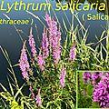 3 Lythrum salicaria