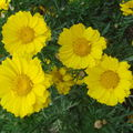 2008 09 05 Une variété de chrisanthème je crois