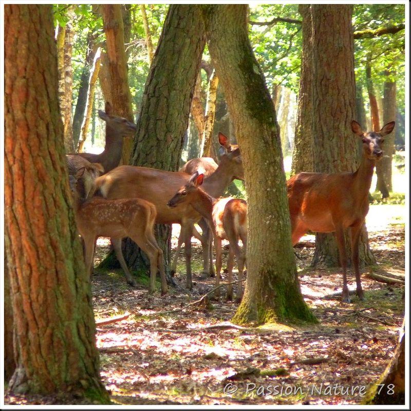 Le brame du Cerf 2009 en forêt de Rambouillet (4)
