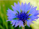 Bleuet_optimise_45