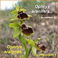 Ophrys aranifera - araignée - comp