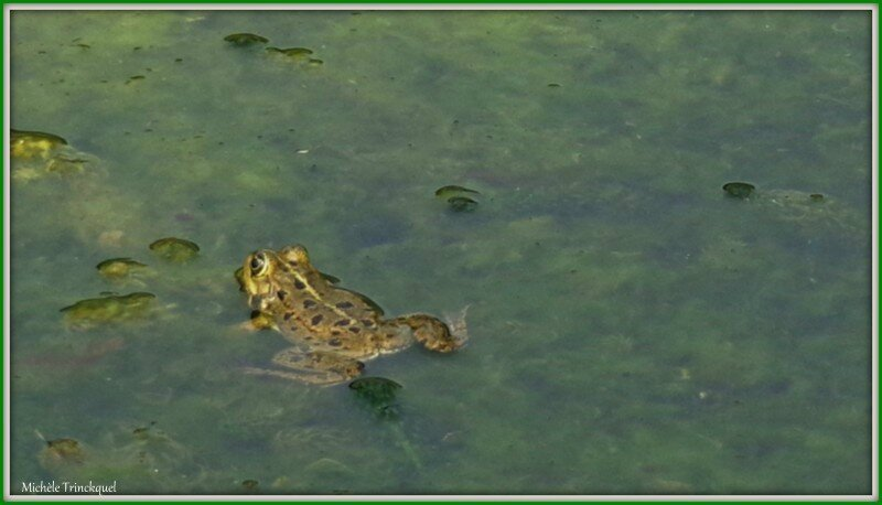 Grenouille 0404155