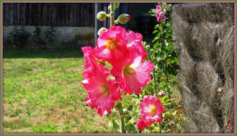 Roses trémières 260615