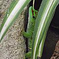Le gecko géant de madagascar