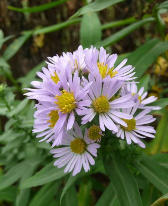 Asters 3