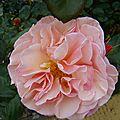 pin_rose4
