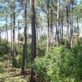 Cap-Ferret-forêt de pins