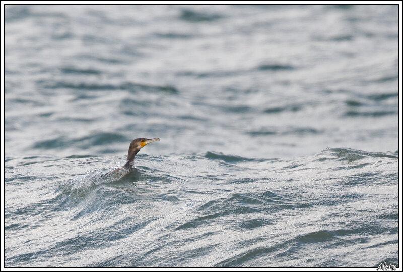 Grand Cormoran au bain