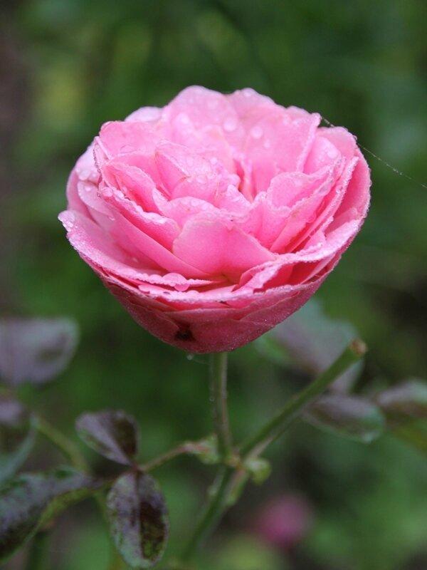 rosier leonard de vinci