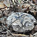 Russula nigricans (1)