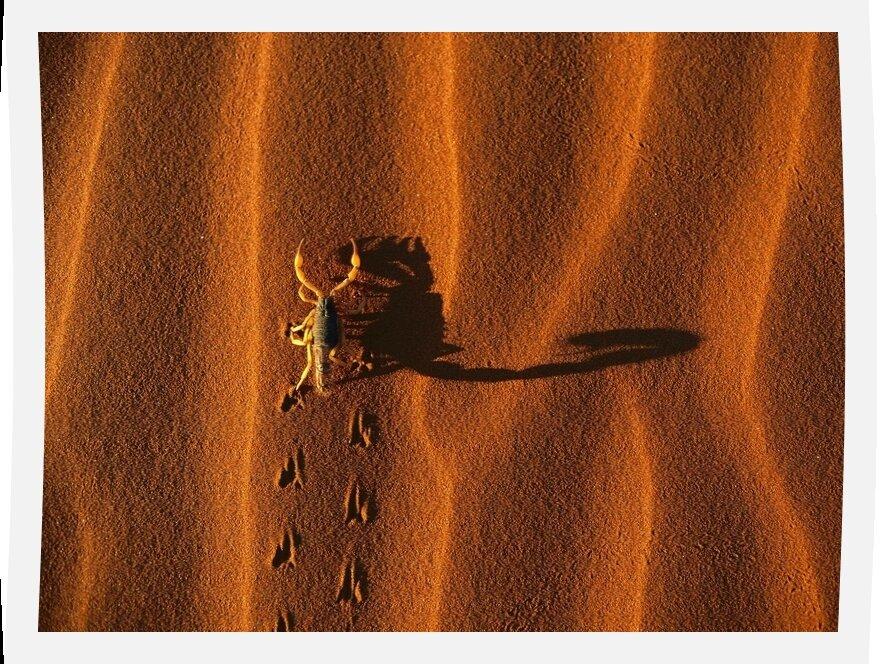 Shadow-Casting Scorpion, Namib-Naukluft National Park, Namibia