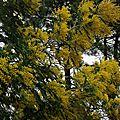 Mimosa 0901162