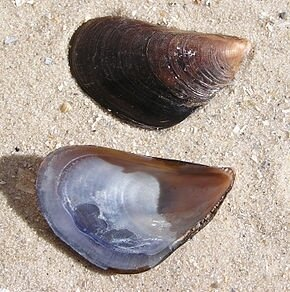Mytilus_galloprovincialis_shell
