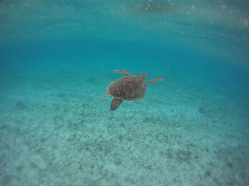 sea turtle_gopro_1