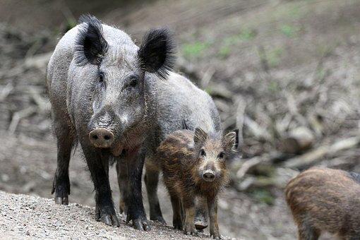 boar-2504313__340