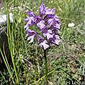 Orchis tridenté