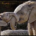 elephants tendresse 1