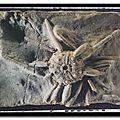 Muséum d'histoire naturelle - pseudocidaris durandi