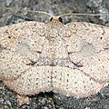 Geometridae sp. 02