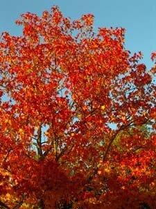 liquidambar_automne_P1504