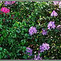Rhododendron 1005154