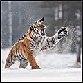 tigre 3 ina schieferdecker