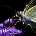 Butterfly (101)