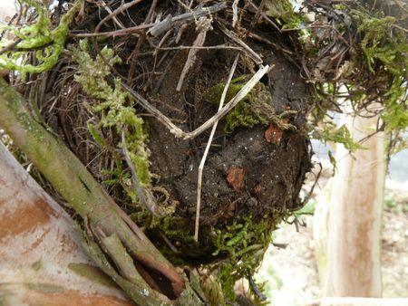 25-nid de merle (8)